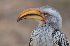 南部的黄色开帐单的犀鸟(Tockus leucomelas) 免版税库存图片