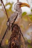 南部的黄色开帐单的犀鸟(Tockus leucomelas) 库存图片
