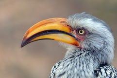南部的黄色开帐单的犀鸟(Tockus leucomelas) 库存照片