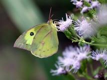 南部的Dogface蝴蝶- Zerene cesonia 免版税库存图片