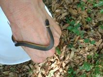 南部的Ringneck蛇 免版税库存照片