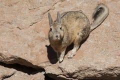 南部的Viscacha或Vizcacha Lagidium Viscacia在Siloli沙漠-玻利维亚 库存照片