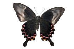 南部蝴蝶中国的孔雀 免版税库存图片