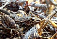 南部青蛙的豹子 库存图片