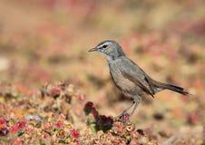南部非洲的干旱台地高原知更鸟洗刷 库存图片