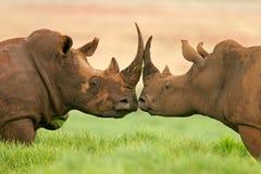 南部非洲犀牛白色 免版税库存照片