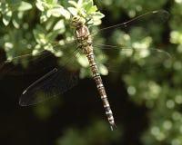 南部蜻蜓的叫卖小贩 免版税库存图片