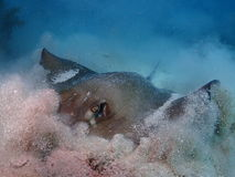 南部黄貂鱼吃 库存图片