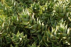 南非主教芦荟植物 免版税图库摄影