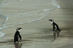 南非企鹅亲吻 免版税库存图片