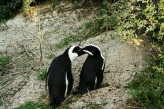 南非企鹅亲吻 图库摄影