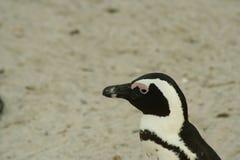 南非企鹅特写镜头 库存图片