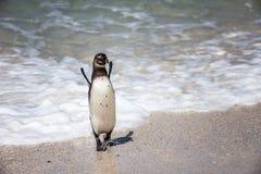 南非企鹅,冰砾海滩,欢呼 库存照片