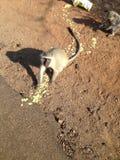 南非克鲁格猴子 免版税库存图片