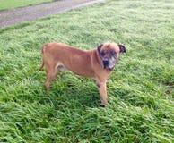 南非大型猛犬 免版税库存照片