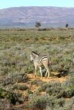 南非孤立斑马 免版税库存图片