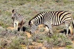 南非斑马母亲和小牛 免版税库存图片
