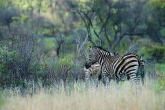 南非斑马 库存图片