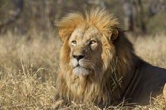南非洲狮子男性的纵向 库存图片