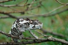 南非洲的变色蜥蜴 免版税图库摄影