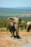 南非洲的大象 免版税图库摄影