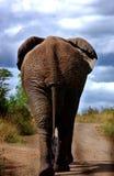 南非洲的大象 免版税库存照片