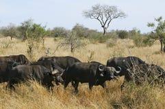 南非洲的水牛 免版税库存图片