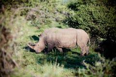 南非洲的犀牛 图库摄影