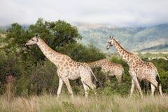 南非洲的长颈鹿 图库摄影