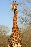 南非洲的长颈鹿 免版税库存照片