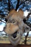南非洲的长颈鹿 库存照片