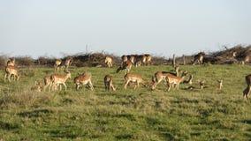 南非洲的飞羚 库存图片