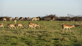 南非洲的飞羚 库存照片