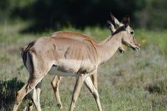南非洲的飞羚 免版税库存照片