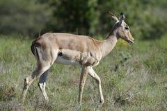 南非洲的飞羚 免版税库存图片