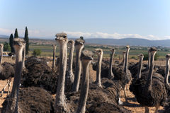 南非洲的驼鸟 库存图片