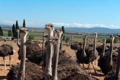 南非洲的驼鸟 免版税图库摄影