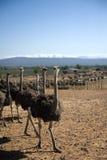 南非洲的驼鸟 免版税库存图片