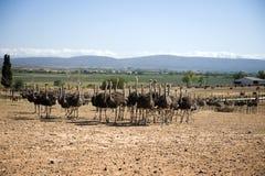 南非洲的驼鸟 免版税库存照片