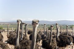 南非洲的驼鸟 库存照片