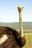 南非洲非洲大驼鸟的徒步旅行队 免版税库存图片