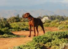 南非洲rhodesian的ridgeback 免版税库存照片