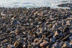 南非海狗巨型的殖民地在海角十字架,纳米比亚,南部非洲的 库存图片