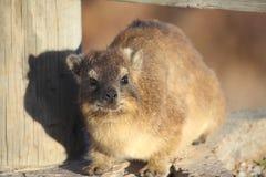 南非海角非洲蹄兔(蹄兔目PROCAVIIDAE C 库存图片