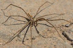 南非蜘蛛 免版税库存图片