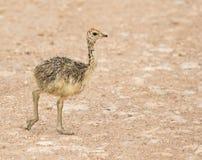 南非驼鸟小鸡在埃托沙国家公园,纳米比亚 库存图片