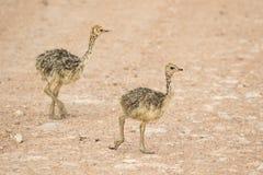 南非驼鸟小鸡 免版税库存图片