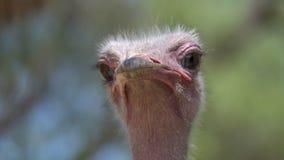 南非驼鸟特写镜头 免版税库存图片