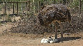 南非驼鸟特写镜头 免版税库存照片