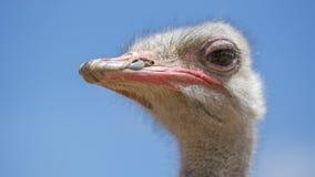 南非驼鸟特写镜头 库存图片